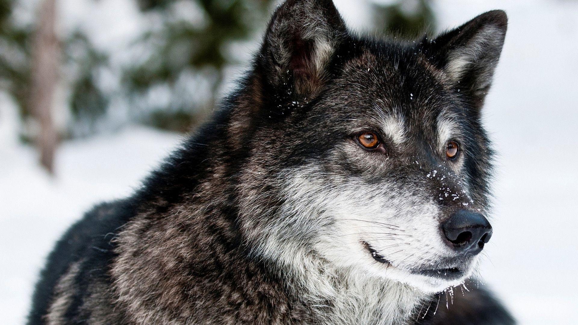 Wolf Hd Background