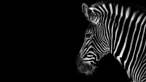 Zebra Computer Backgrounds
