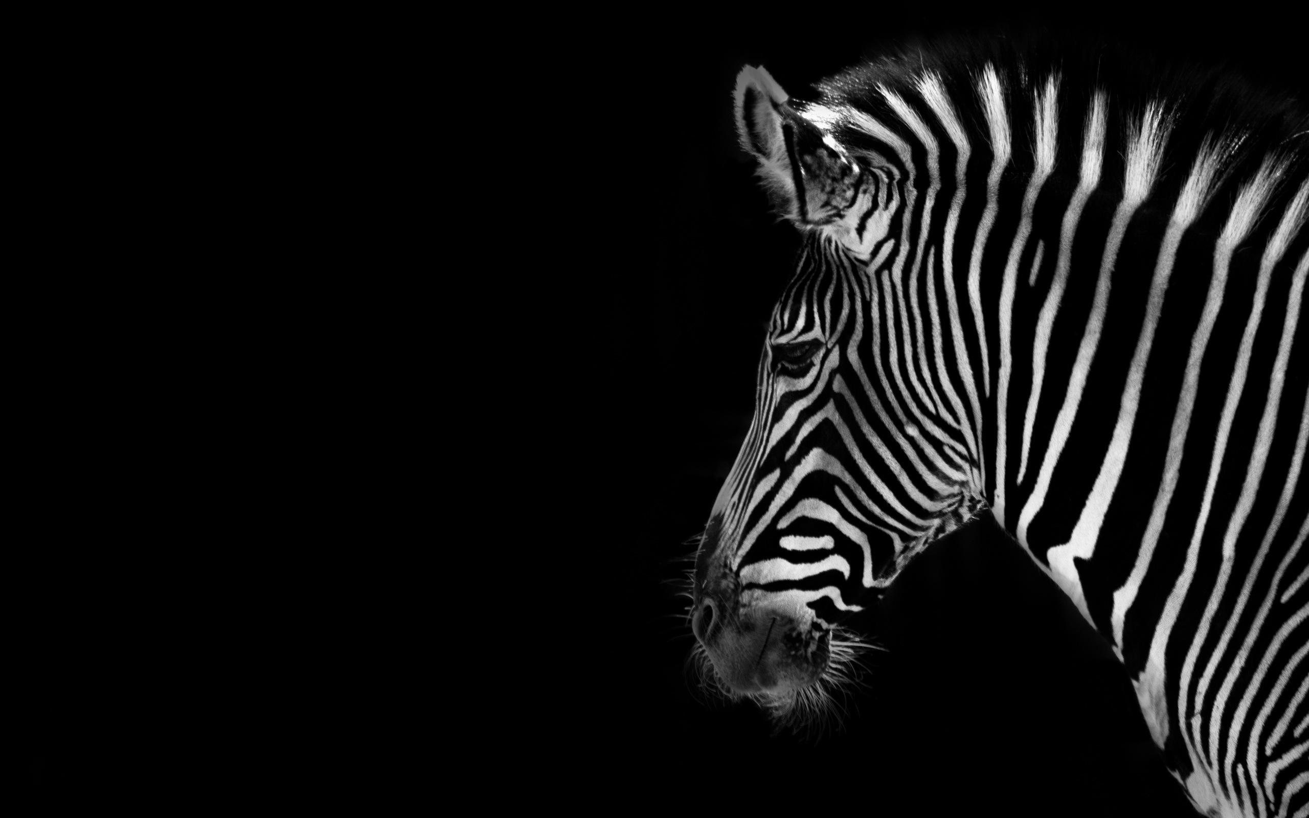 Zebra Computer Backgrounds