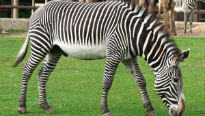 Zebra Desktop Images