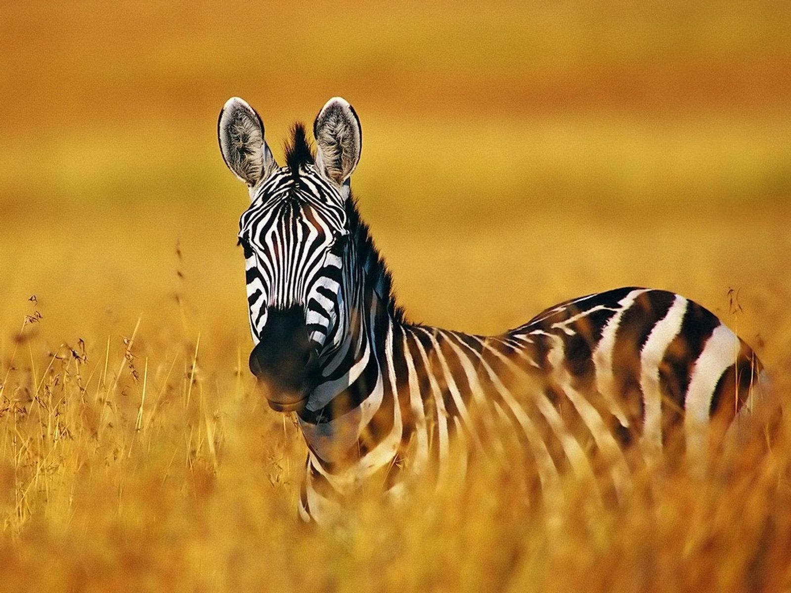 Zebra Desktop Wallpaper
