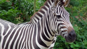 Zebra Download