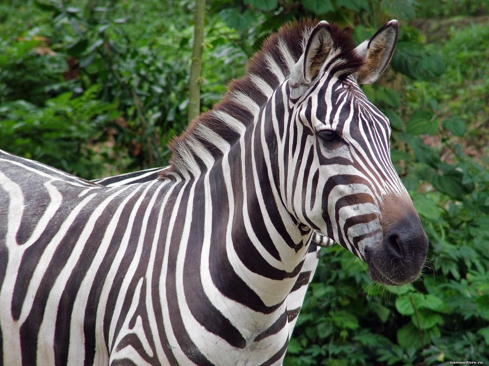 Zebra Download