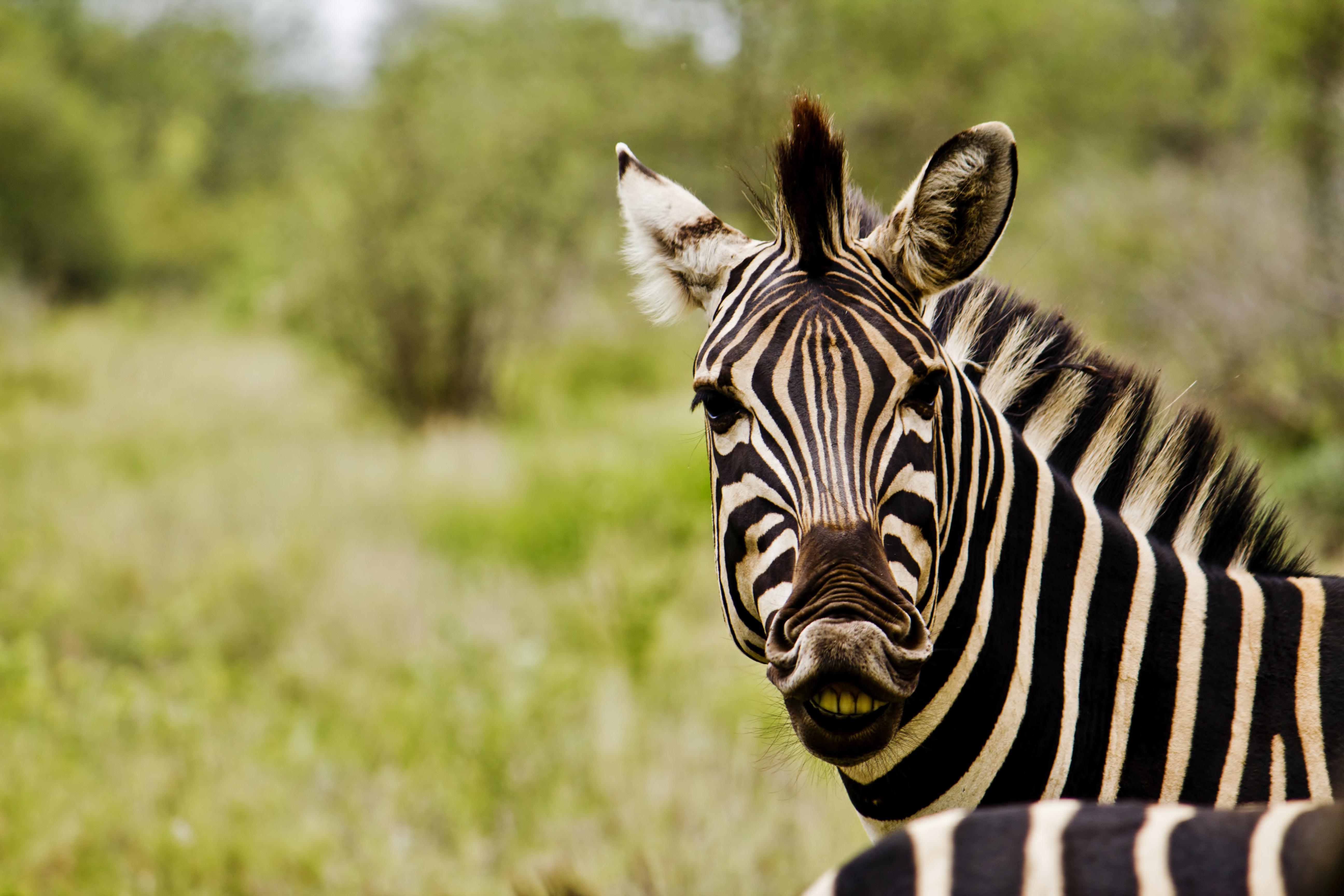 Zebra Free HD Wallpapers