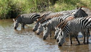Zebra HD Desktop