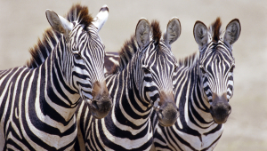 Zebra High Definition Wallpapers