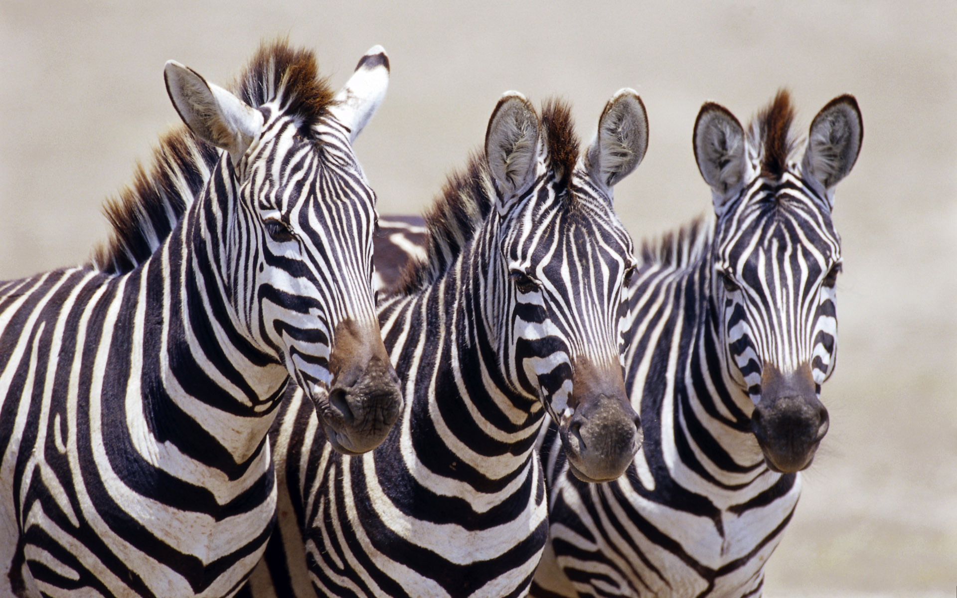 Zebra High Definition Wallpapers