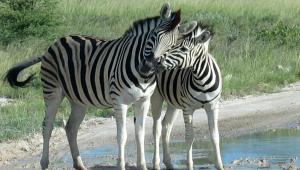 Zebra Pics