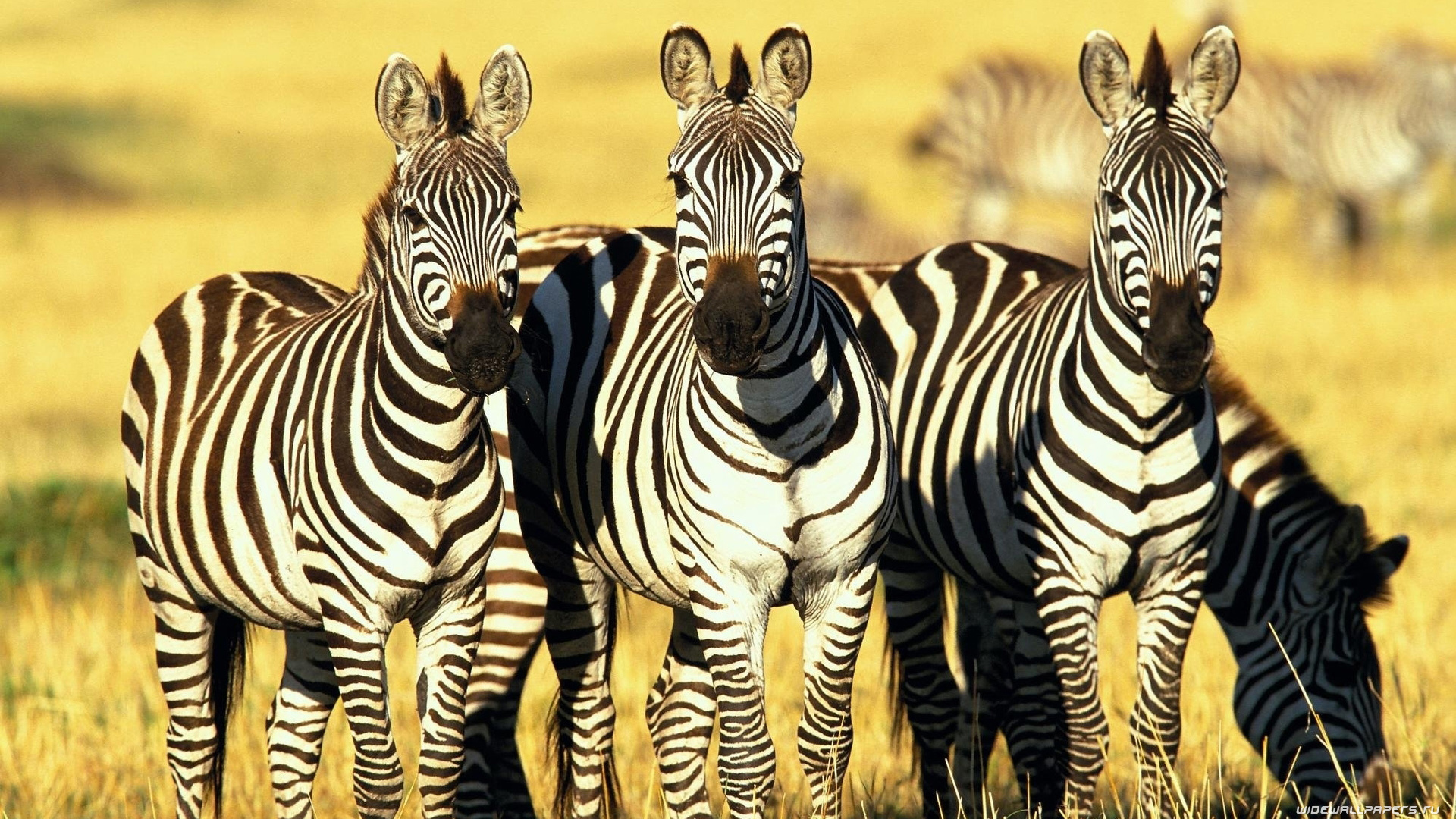Zebra Wallpaper For Computer