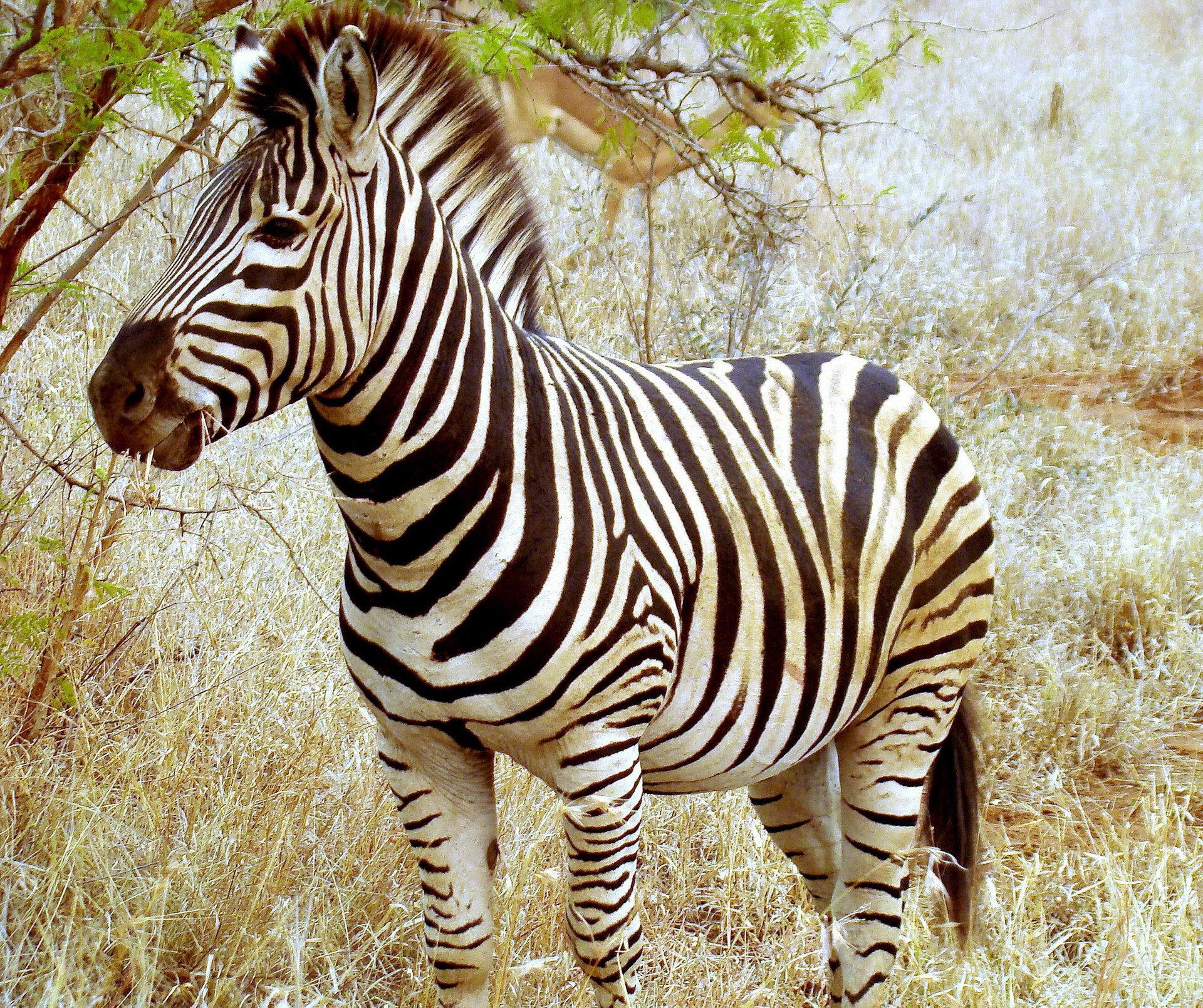 Zebra Wallpaper For Laptop