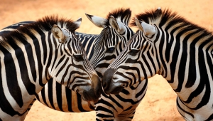 Zebra Wallpapers HQ