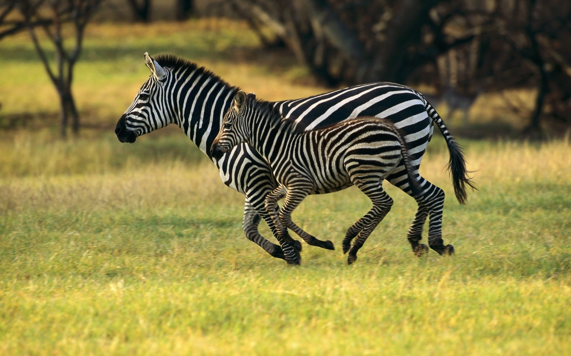 Zebra Wallpapers And Backgrounds