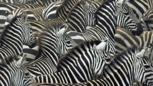 Zebra Widescreen