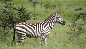 Zebra For Desktop Background