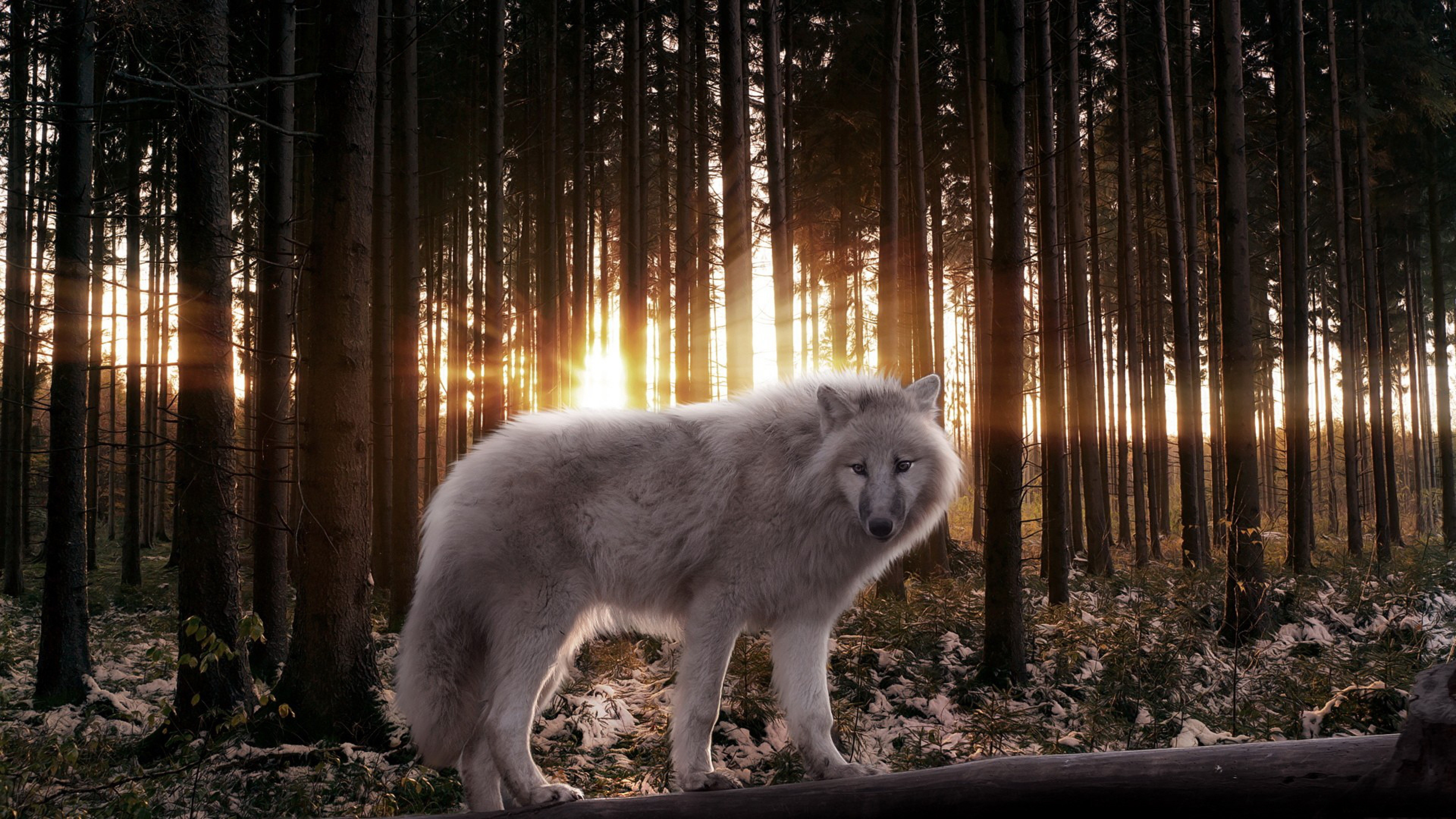 Cool Wolf Background