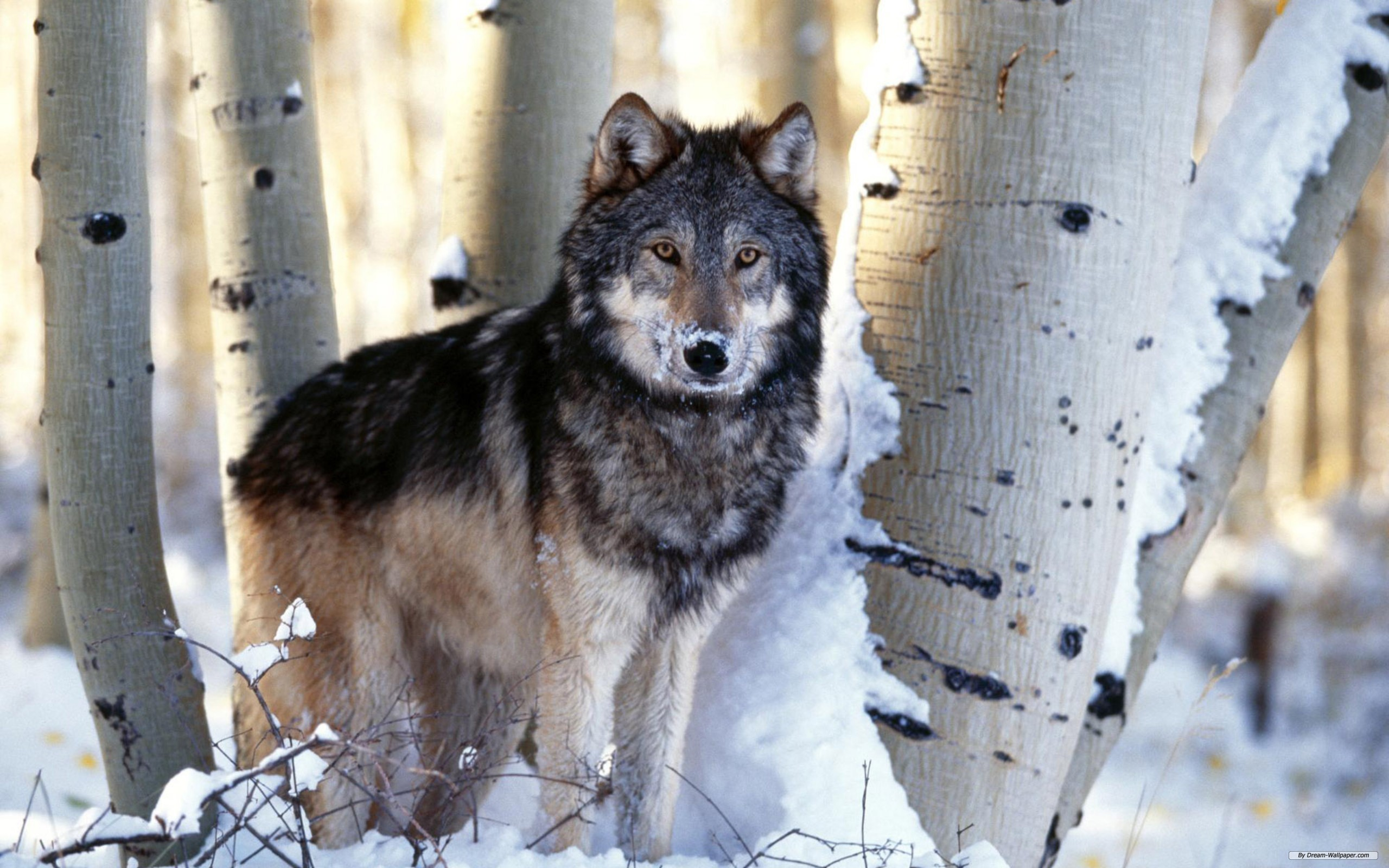 Images Of Wolf Prints
