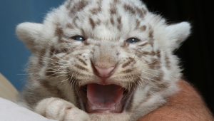 Images Of White Baby Tigers