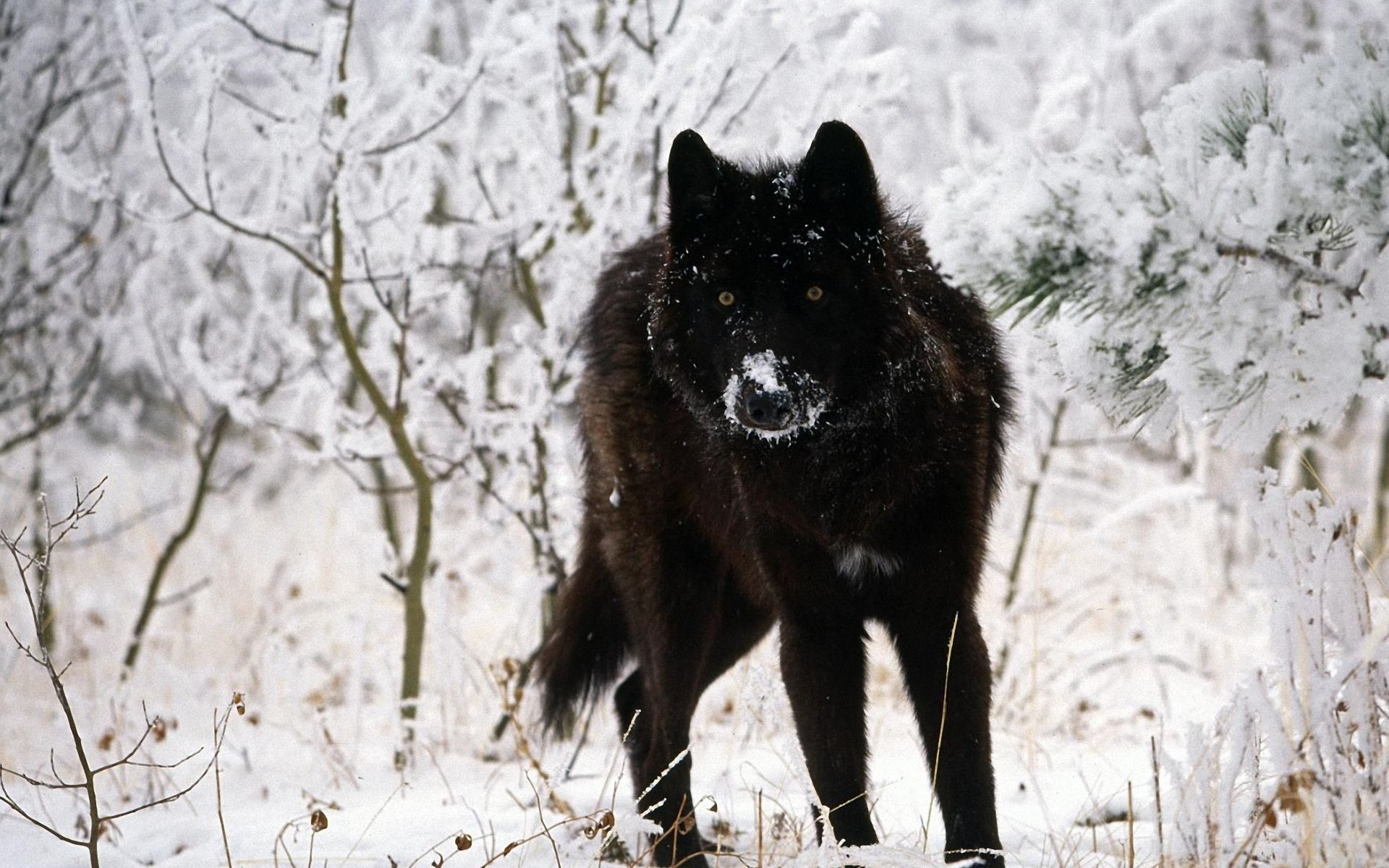 Pictures Of Wolf