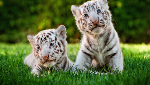 Two Cute White Tiger Baby Cubs