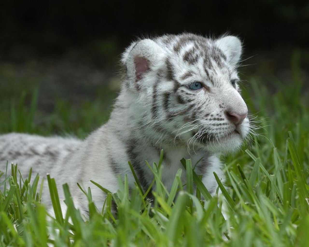 White Tiger Baby Wallpaper