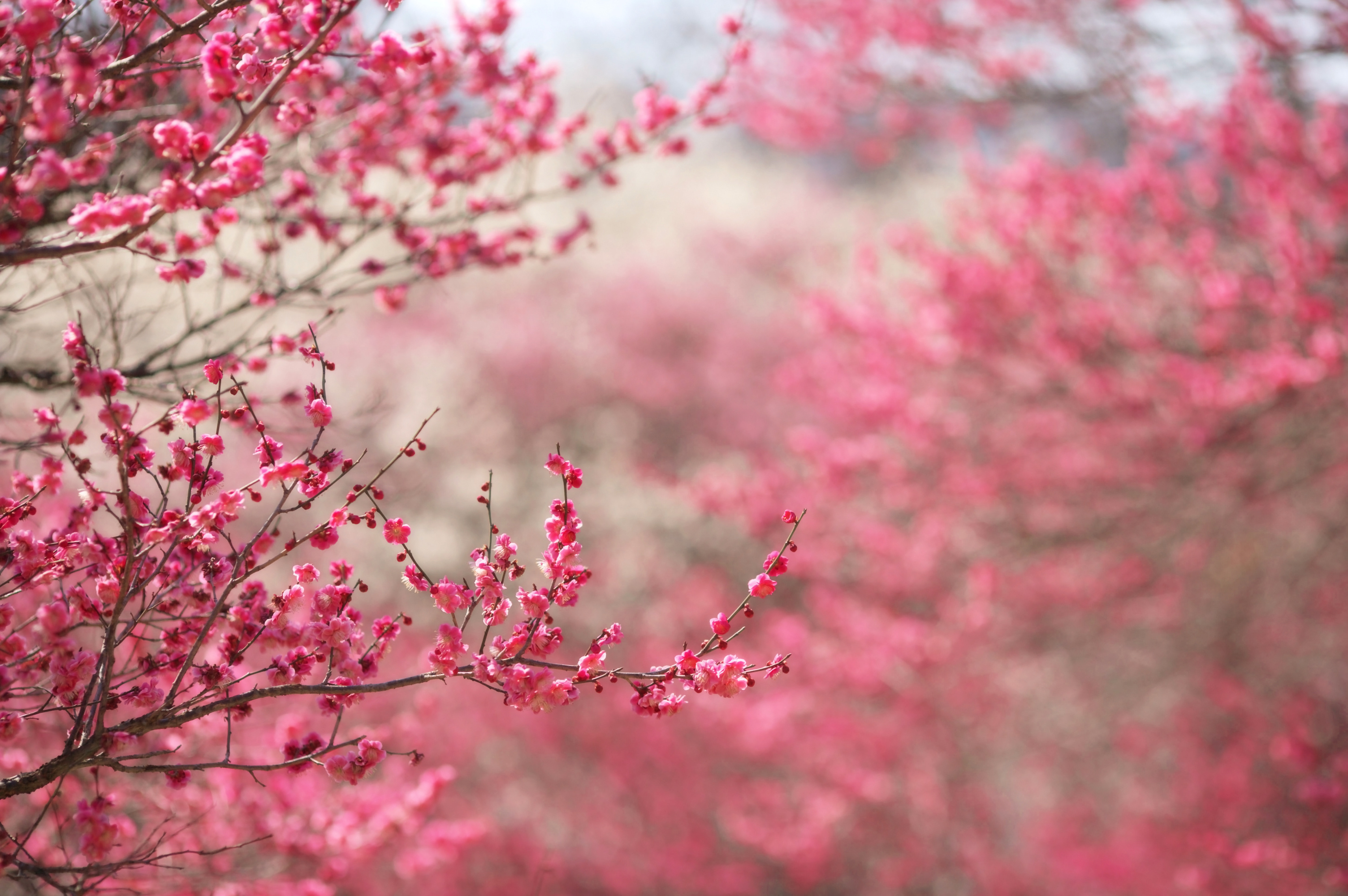 Sakura Desktop Backgrounds