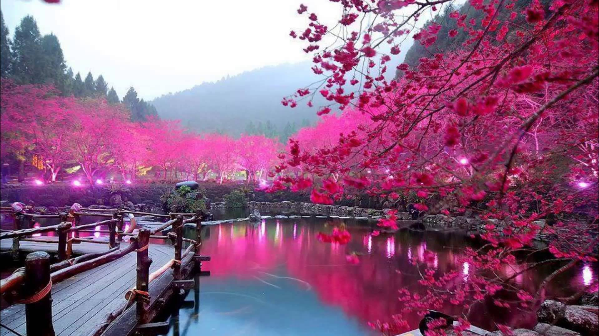 Sakura Hd Background