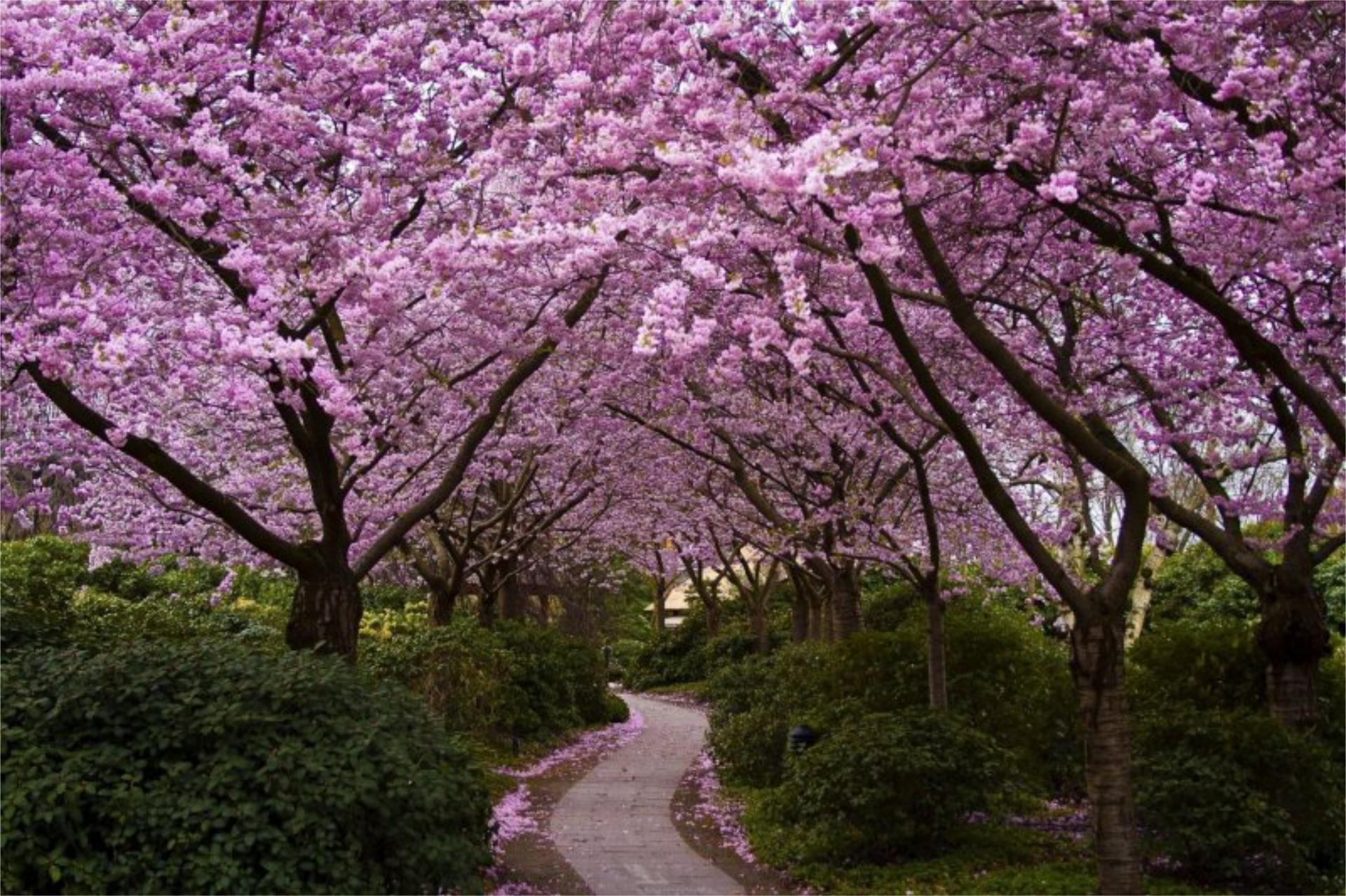 Sakura Wallpapers