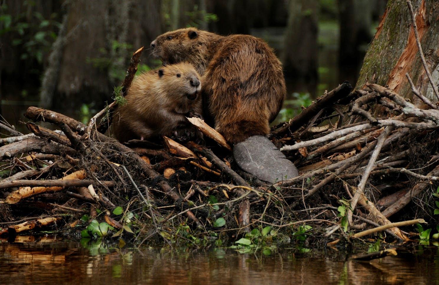 Beaver 4K