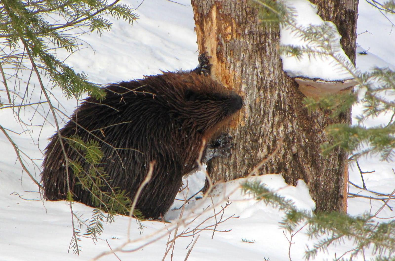 Beaver Background