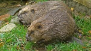 Beaver HD