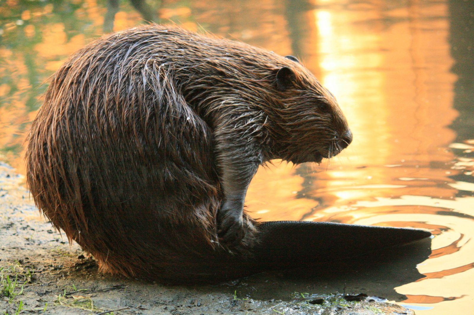 Beaver HD Background