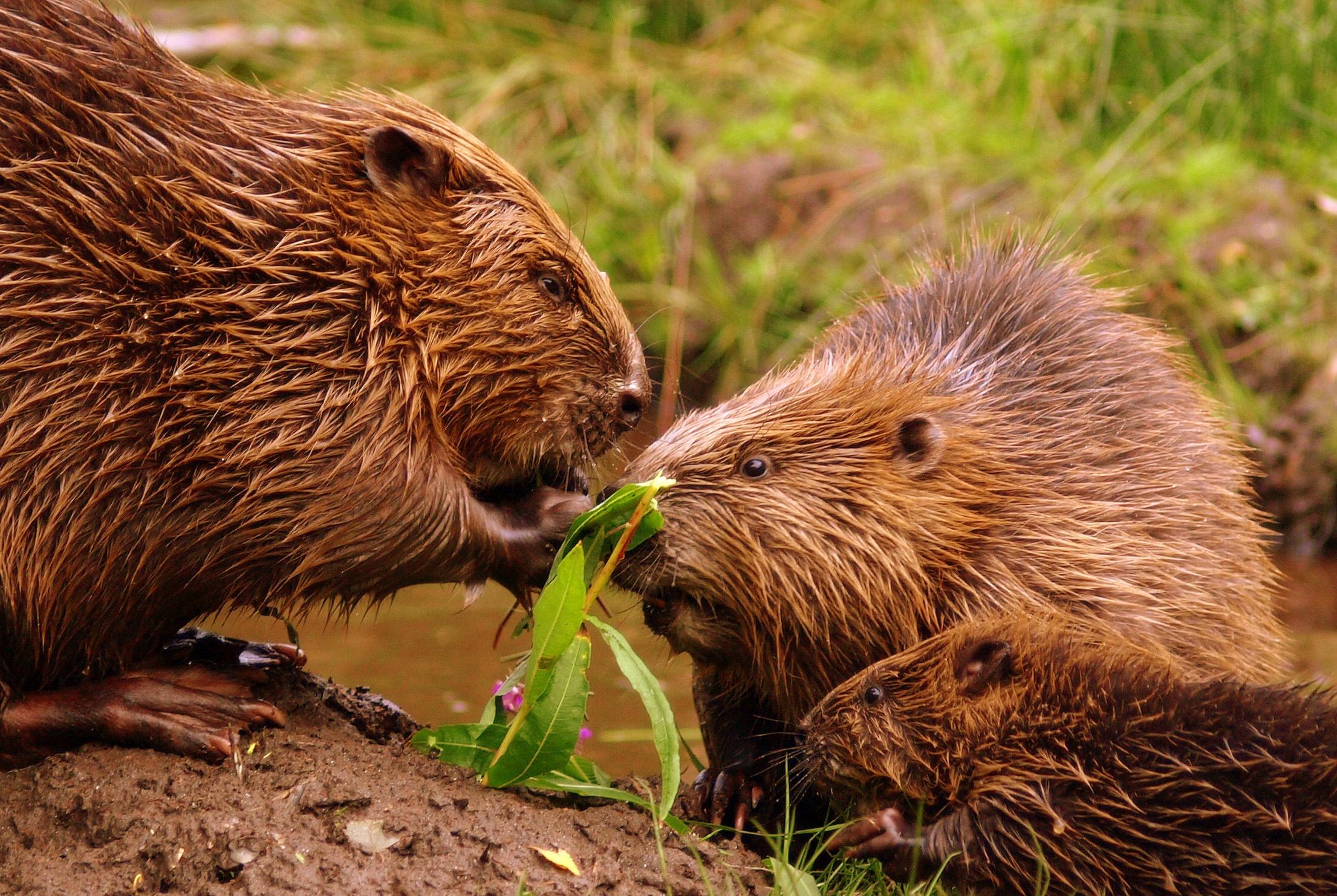 Beaver HD Wallpaper