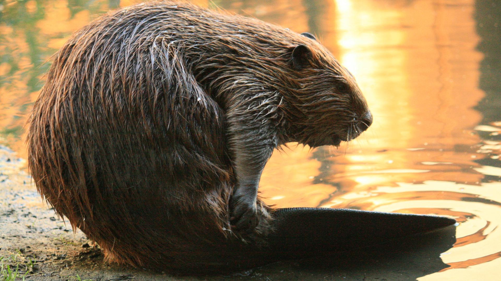 Beaver For Desktop