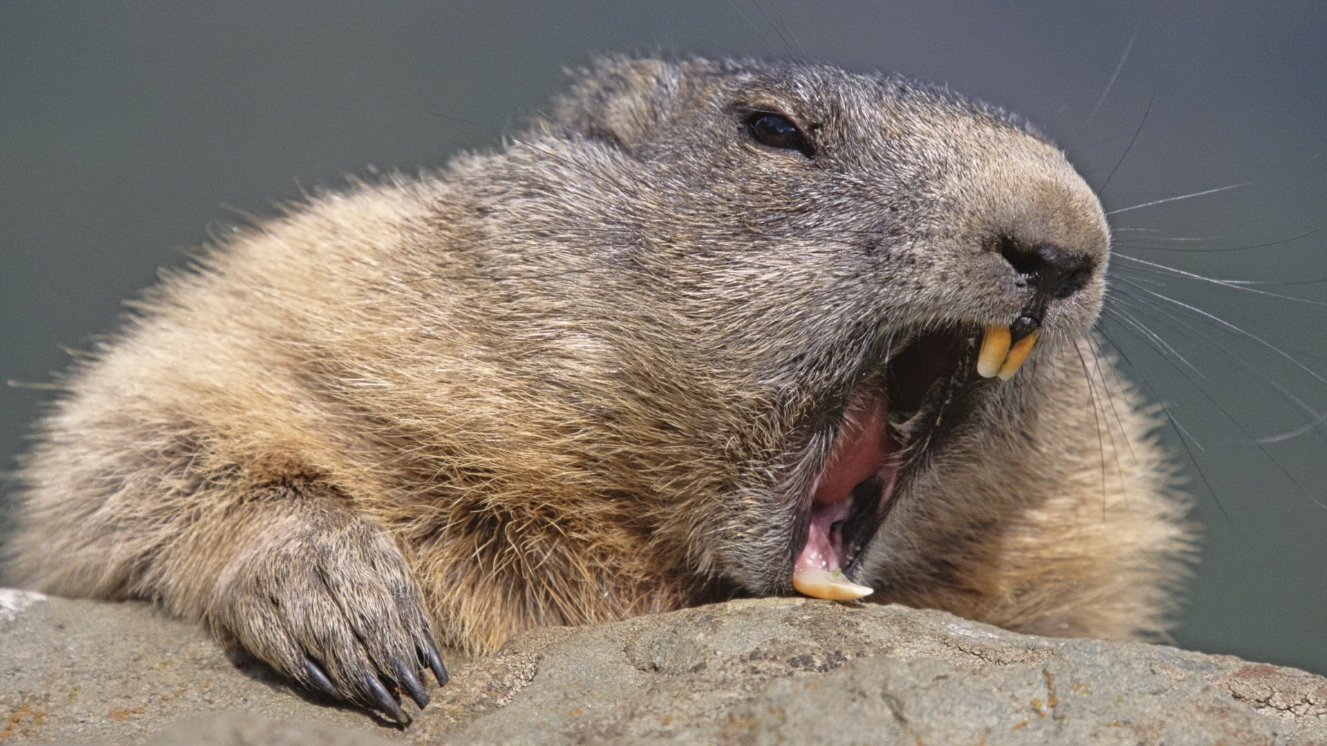 Beaver Full HD