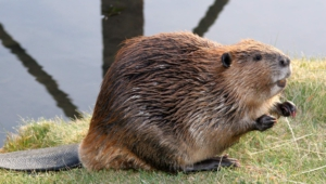 Pictures Of Beaver