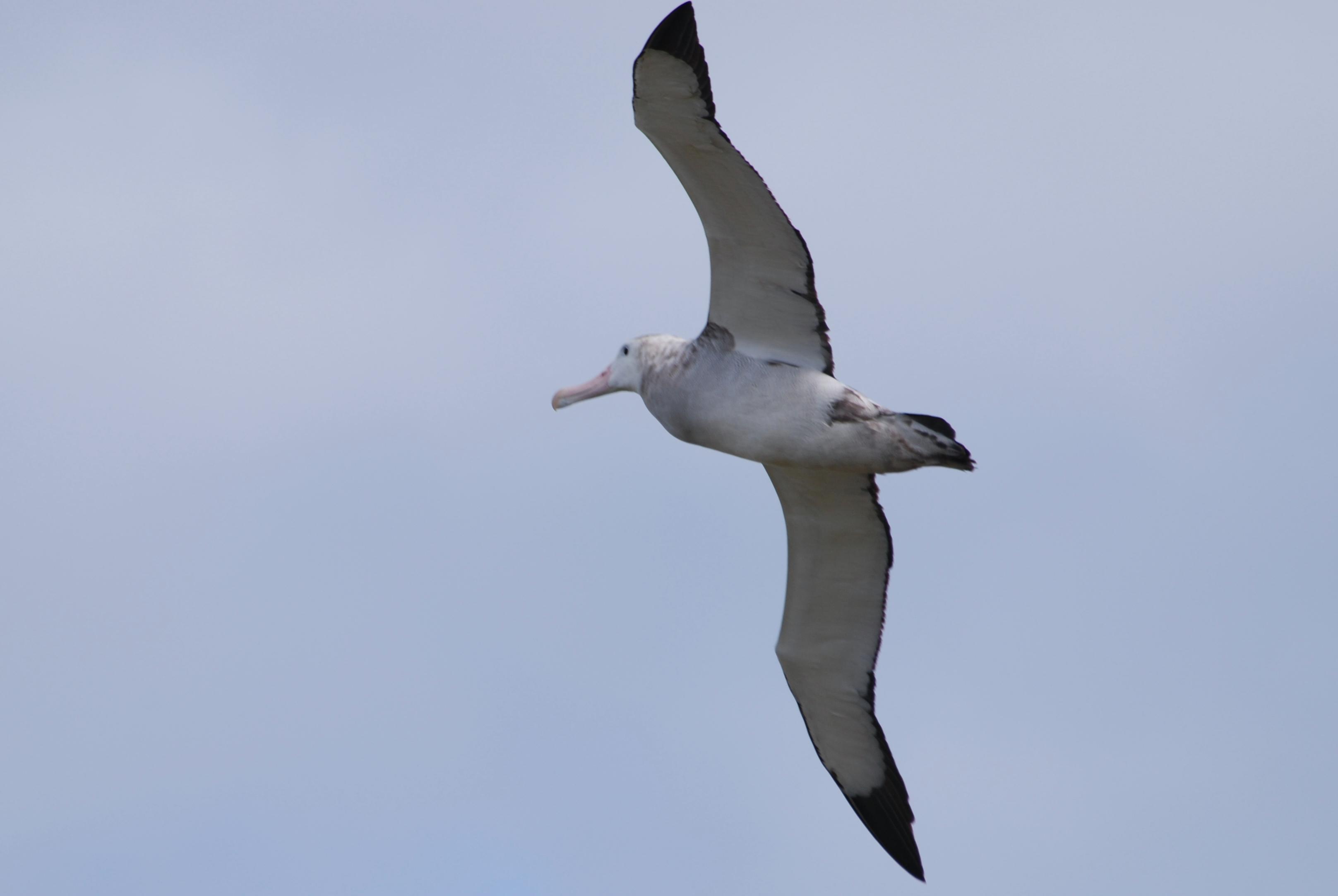 Albatross HD Wallpaper