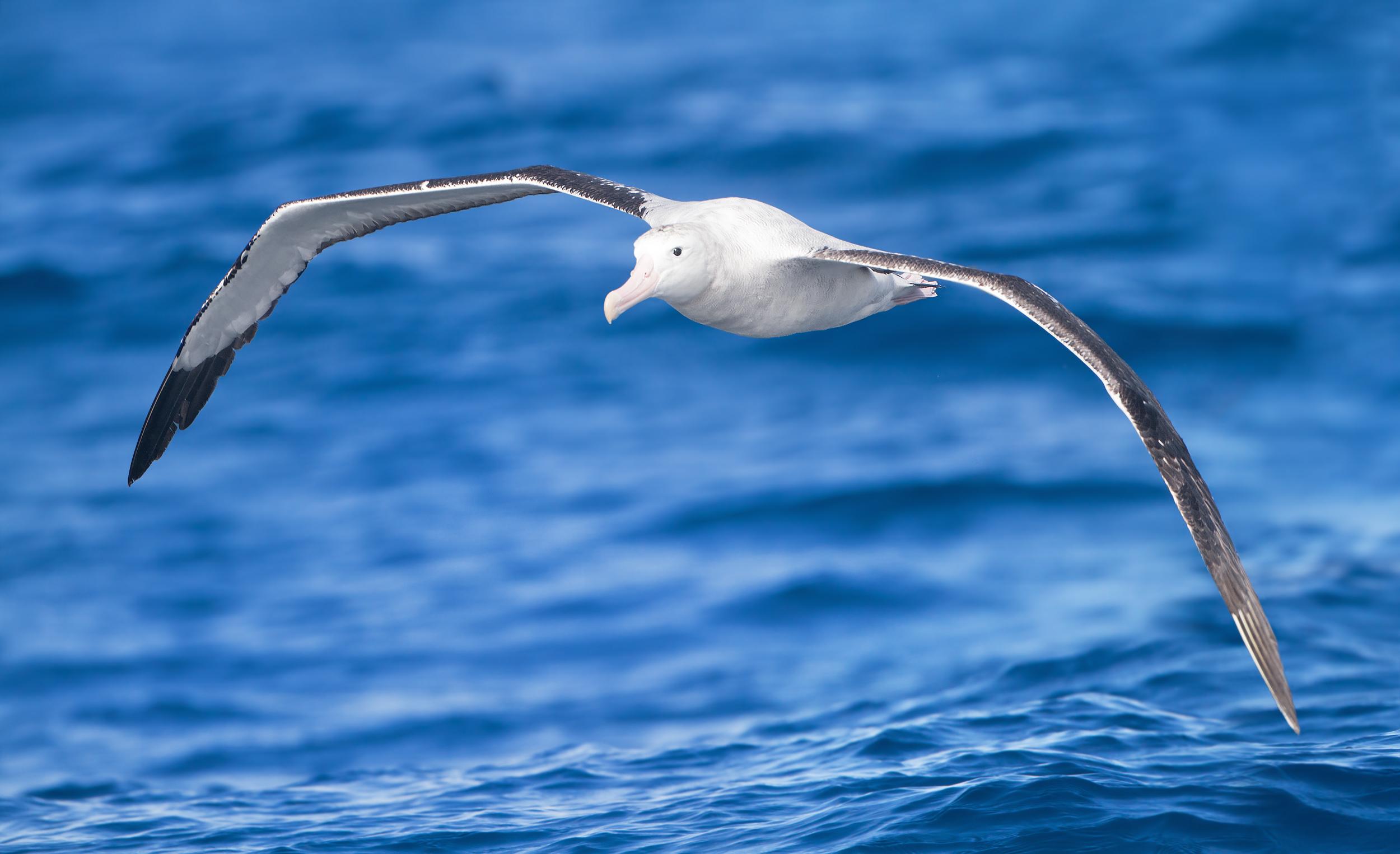 Albatross High Definition Wallpapers
