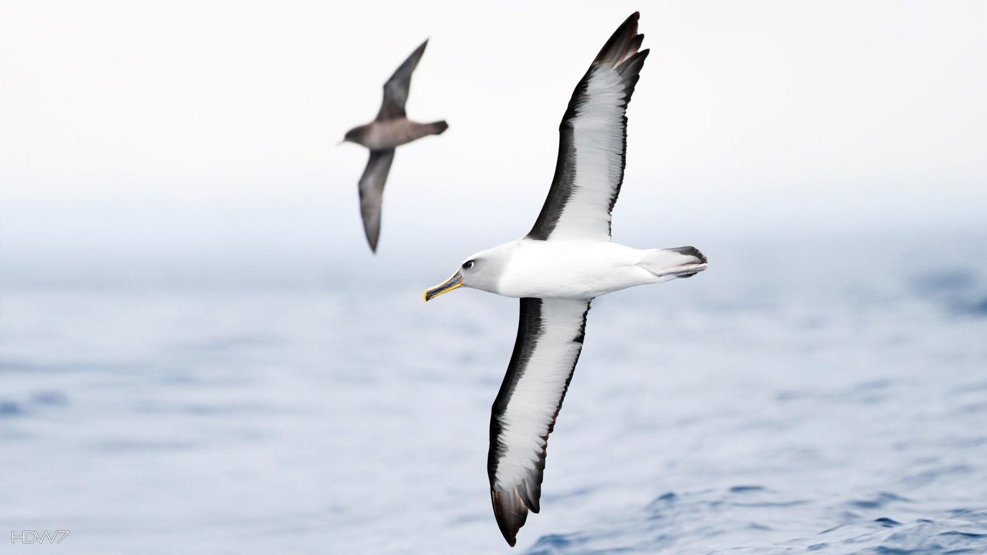 Albatross Wallpaper