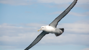 Albatross Wallpapers HD