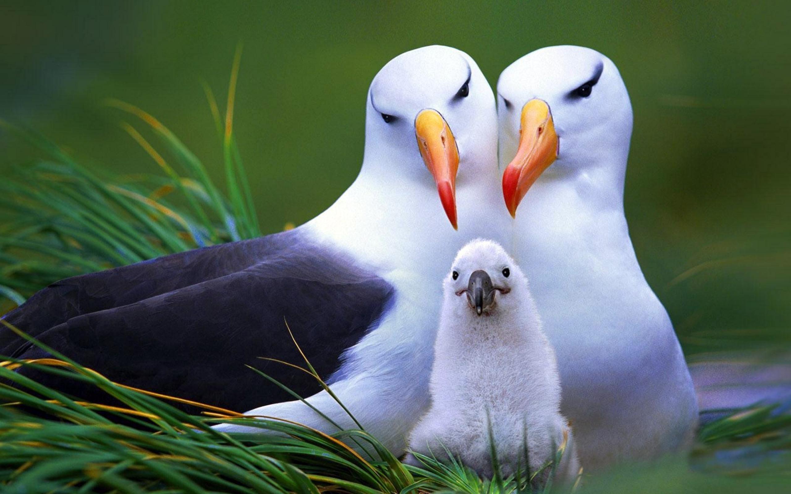 Albatross Wallpapers