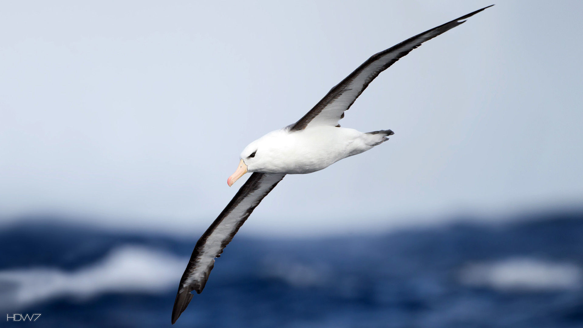 Albatross Widescreen