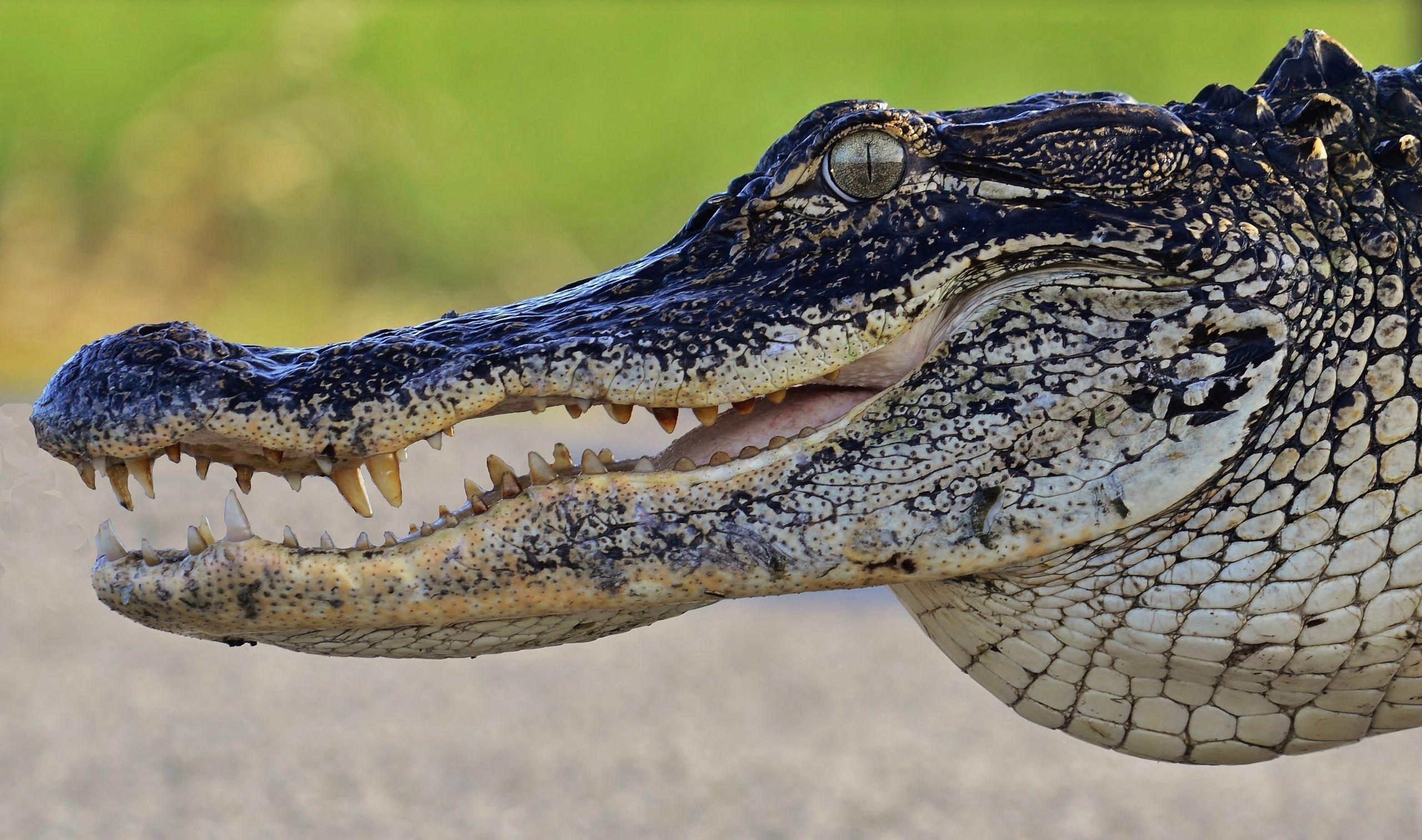 Alligator Background