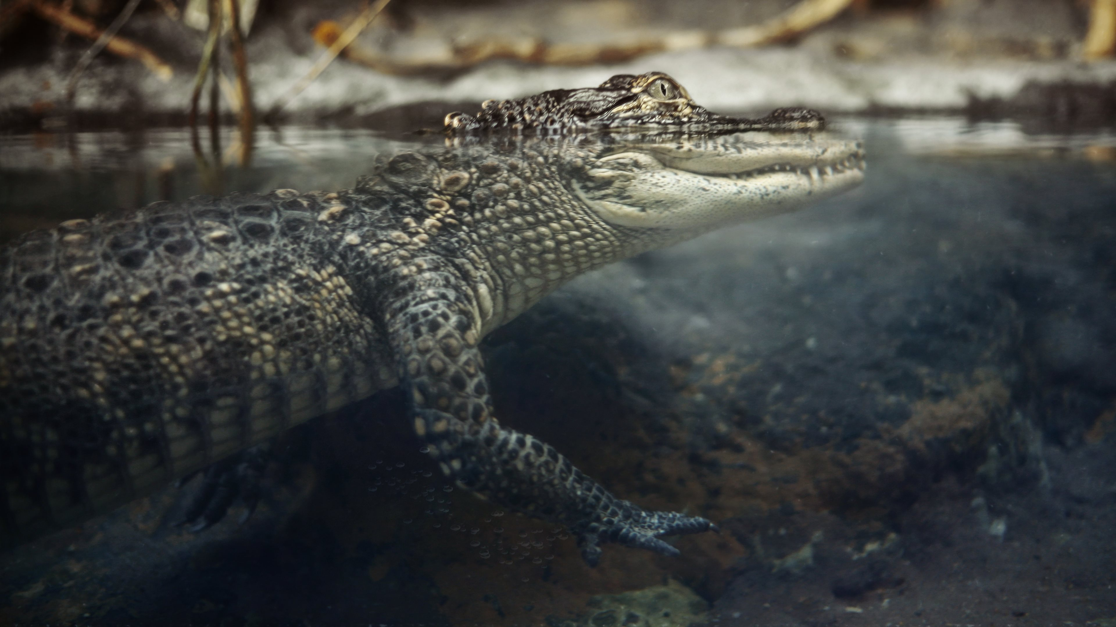 Alligator Computer Wallpaper
