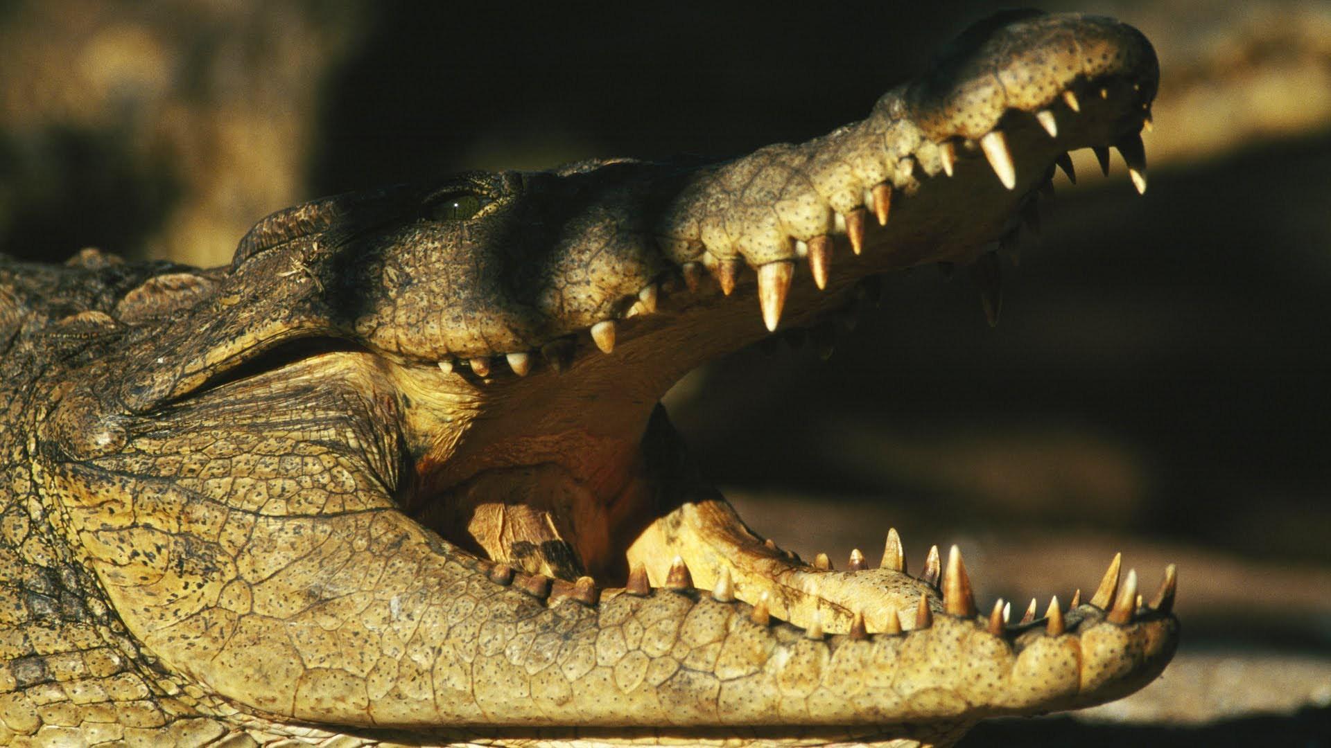 Alligator Desktop