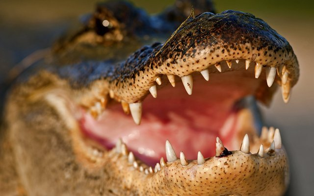 Alligator HD Desktop