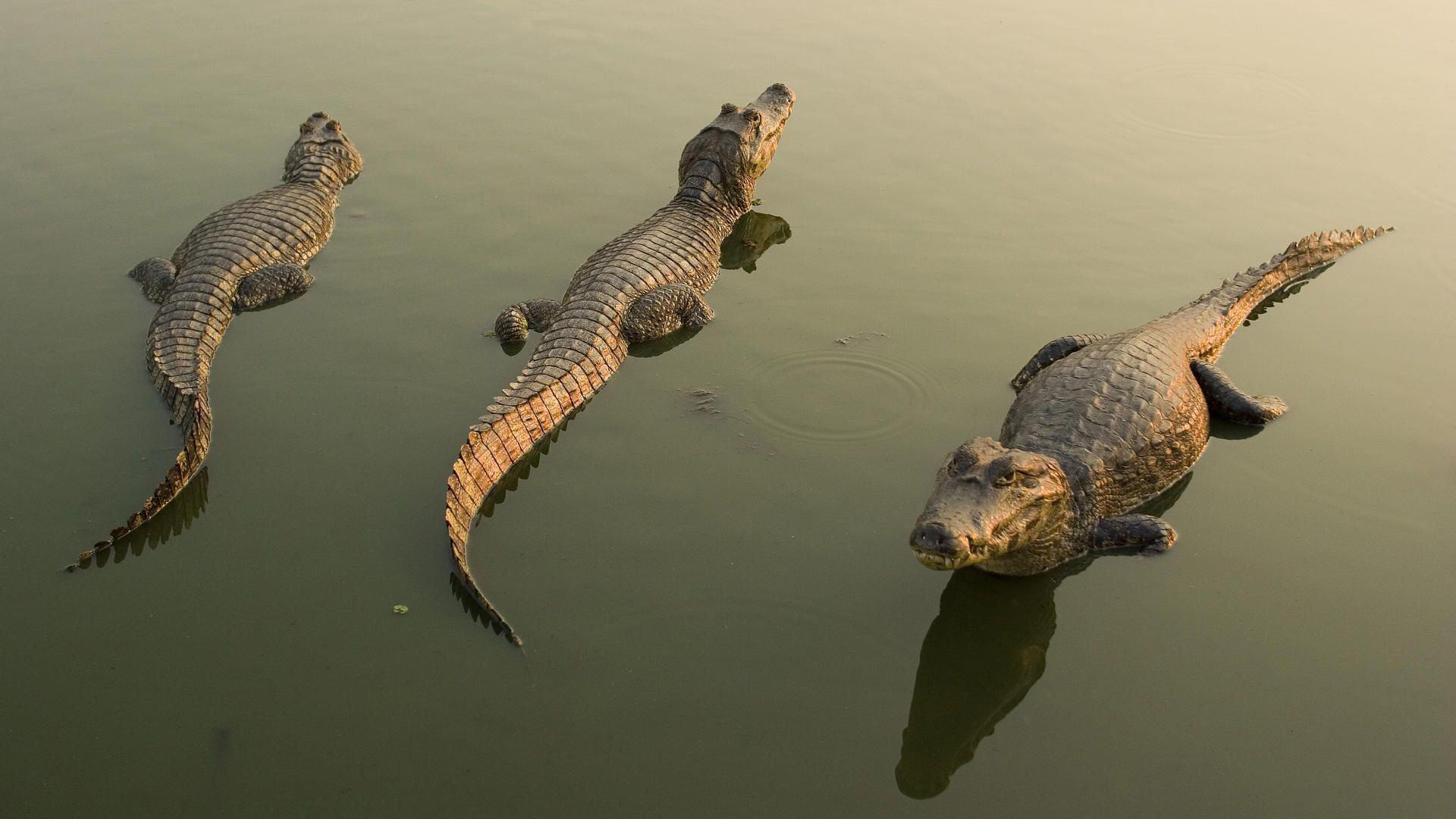 Alligator Widescreen