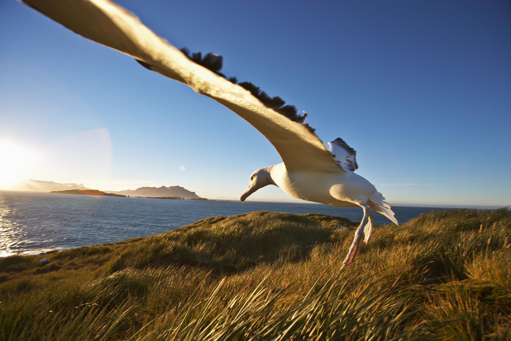 Pictures Of Albatross