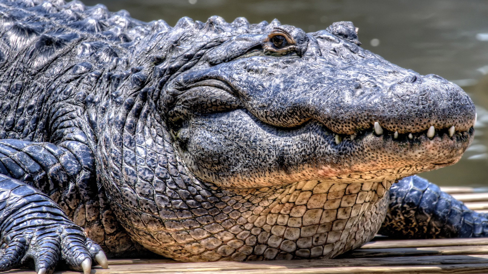 Pictures Of Alligator