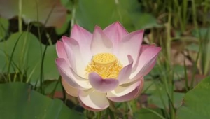Lotus Flower Widescreen