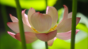 Pictures Of Lotus Flower